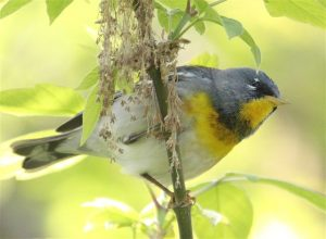 Northern Parula Warbler. Photo courtesy of James Strange, Hammond, Indiana.
